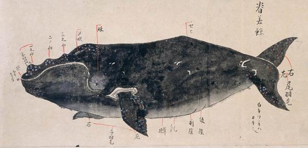 セミクジラの画像 p1_4